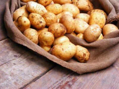 Какой сорт семенного картофеля выбрать для посадки
